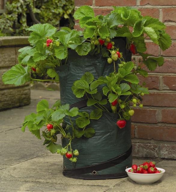 Vaso da coltivazione per fragole for Fragole in vaso