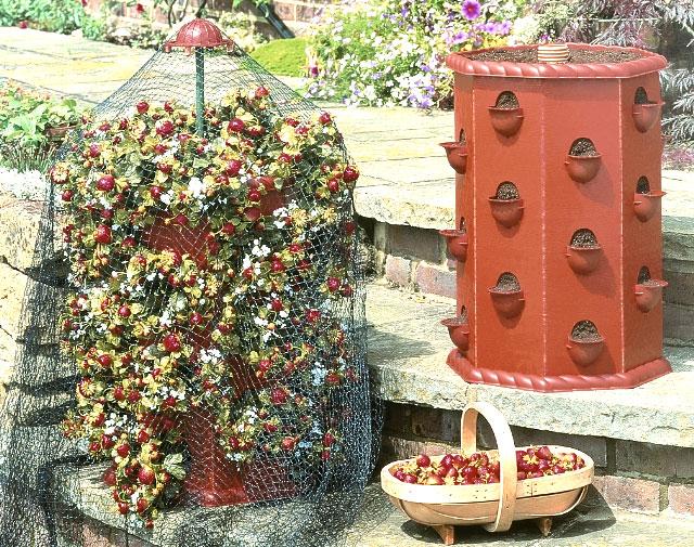 La magia di un piccolo orto fragole e semifreddo alle fragole for Fragole in vaso